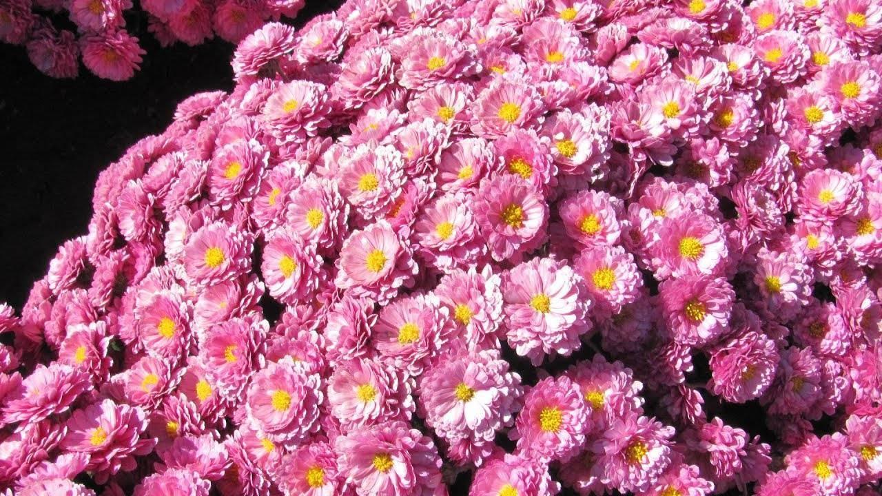 Хризантема мультифлора посадка и уход. хризантема мультифлора: посадка и уход в открытом грунте