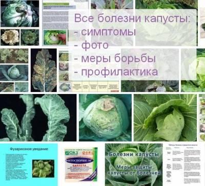 Борьба с вредителями капусты в открытом грунте