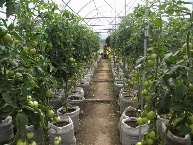 Как высаживать томаты в открытый грунт