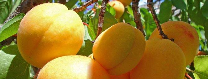Как правильно привить абрикос