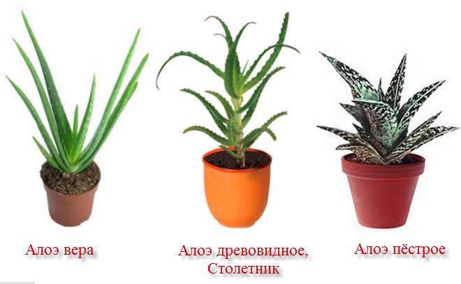 Все тонкости выращивания алоэ древовидного