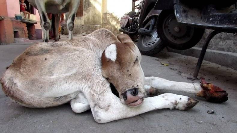 Что делать, если теленок не встает на ноги