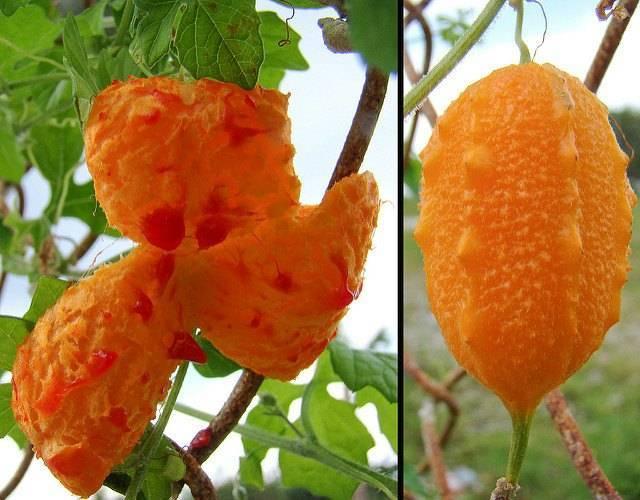 Растение момордика — экзотический гость на балконе