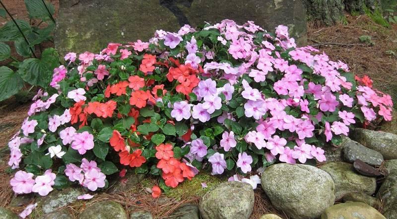 Фуксия ампельная — описание сортов, выращивание и уход в домашних условиях