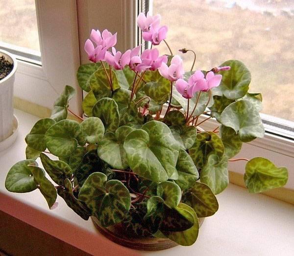 Цветам нужно отдохнуть! период покоя цикламена и уход за растением в это время