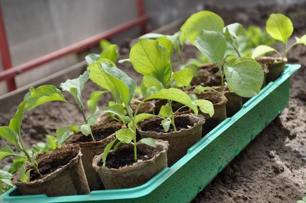 Когда сеять баклажаны на рассаду в 2020 году: сроки посева