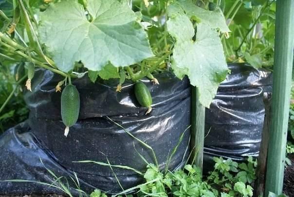 Выращивание огурцов в мешках