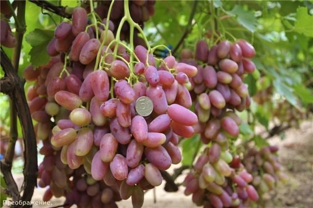 Что собой представляет виноград преображение и как его вырастить на даче