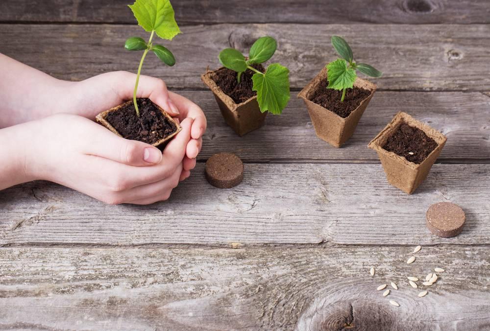 Видео как вырастить рассаду огурцов