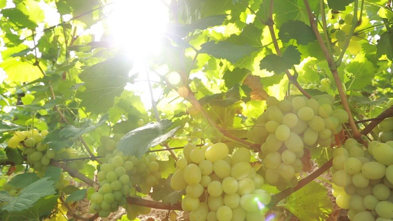 Виноград на урале посадка и выращивание видео