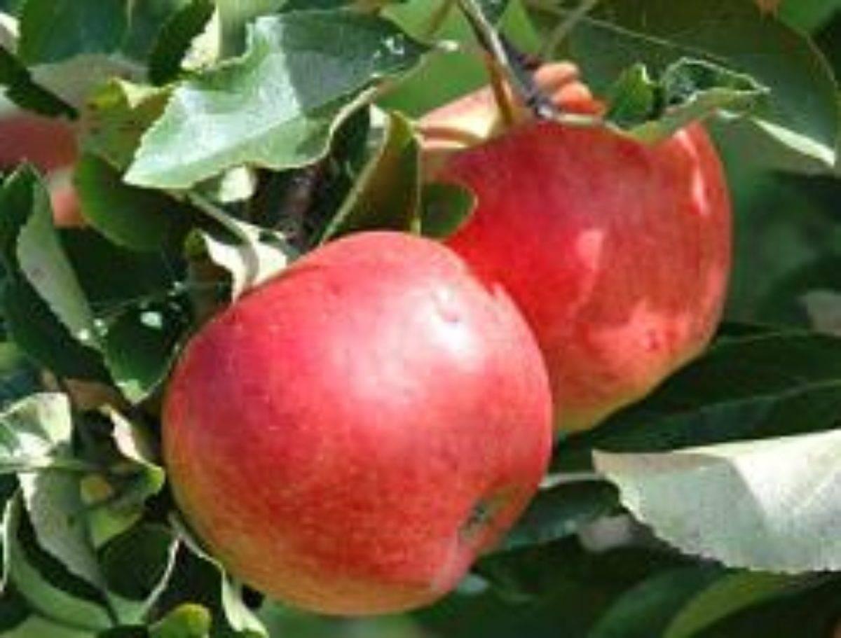 Как выращивать саженцы яблони из срезанной ветки