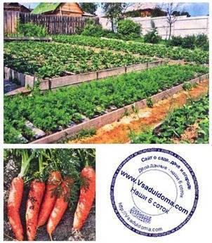 Выращивание ранней и поздней моркови от семян до урожая.