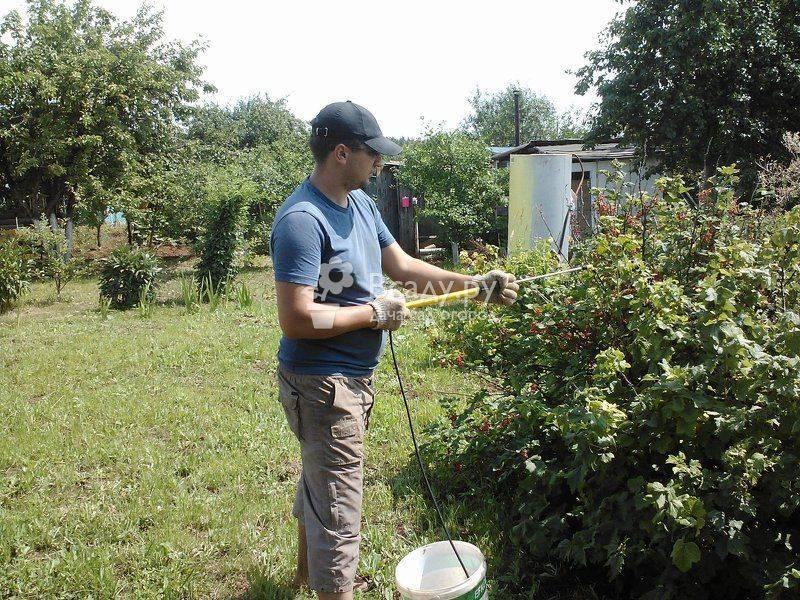 Уход за крыжовником весь сезон, чтобы ягоды были крупными