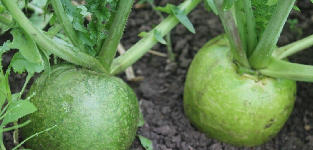 Дайкон - выращивание в открытом грунте