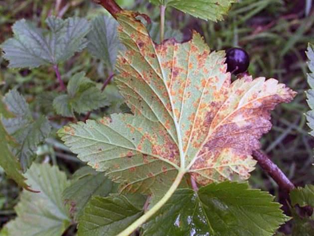 Ржавчина растений – признаки болезни и способы борьбы с ней