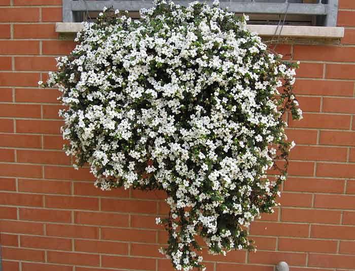 Бакопа: выращивание из семян, посадка и уход в домашних условиях