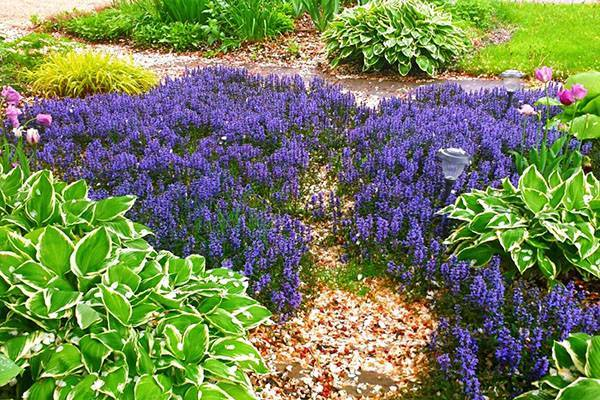 Многолетник живучка в саду: особенности, разновидности