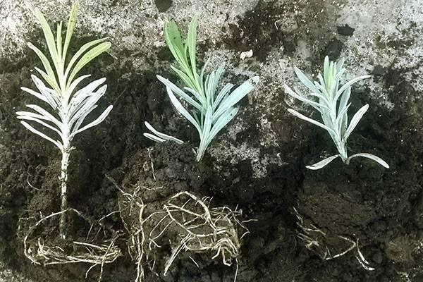 Размножение лаванды: просто и продуктивно
