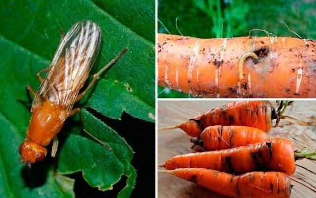 Как избавиться от луковой мухи и спасти урожай?