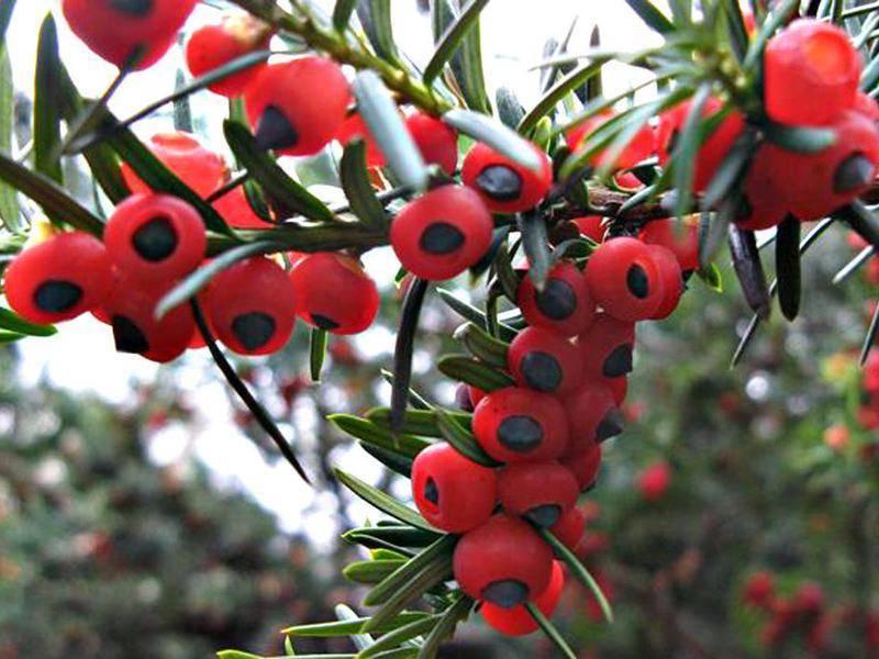 Тис ягодный: чем примечательно ядовитое растение?