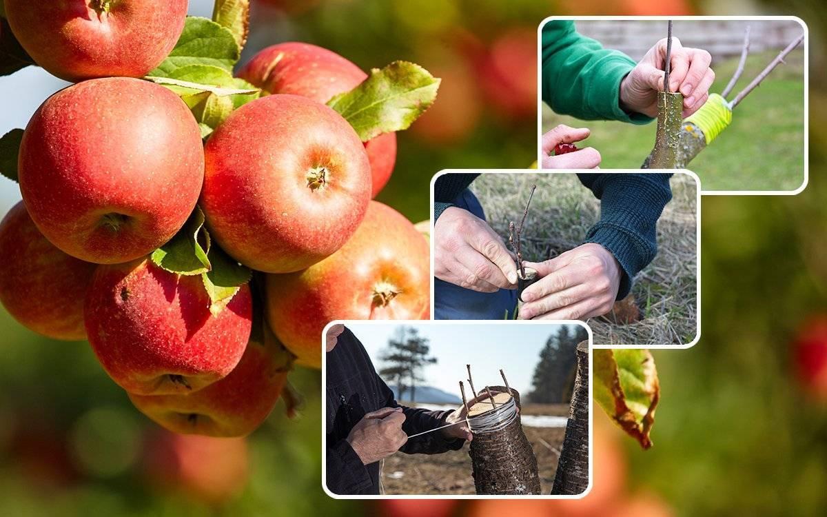 Прививка плодовых деревьев: сроки и правила проведения процедуры