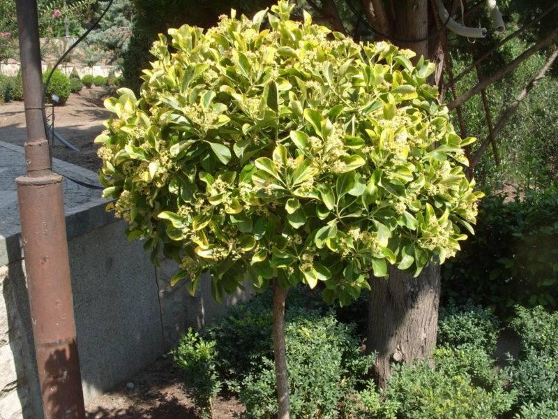 Полное описание ухода за бересклетом японским в саду и домашних условиях