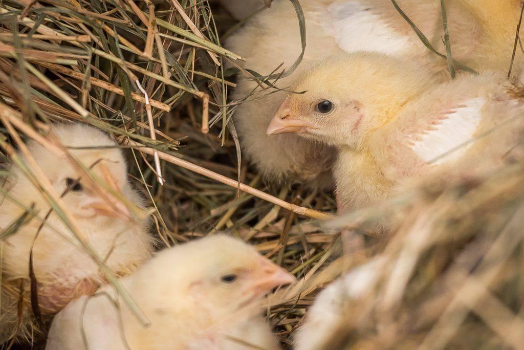 Эффективный препарат соликокс для кроликов и птиц