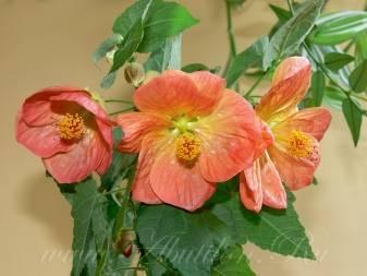 Как вырастить абутилон из семян в домашних условиях. абутилон: выращивание из семян, размножение, пересадка и посадка