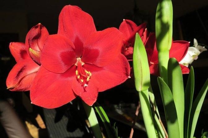 Амариллис в домашних условиях: уход, посадка и размножение
