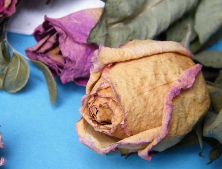 У розы опадают листья и сохнут бутоны — в чем причина?