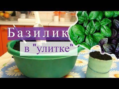 Выращивание кинзы: как правильно сажать и ухаживать