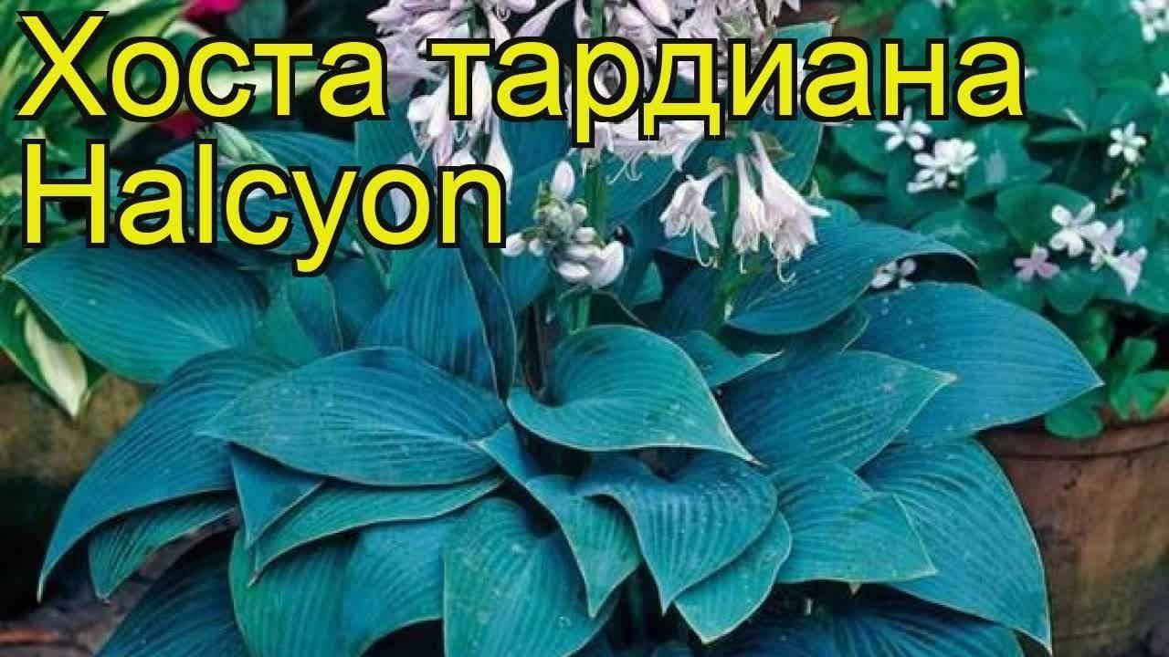 Хоста: описание растения, особенности выращивания, посадка и уход