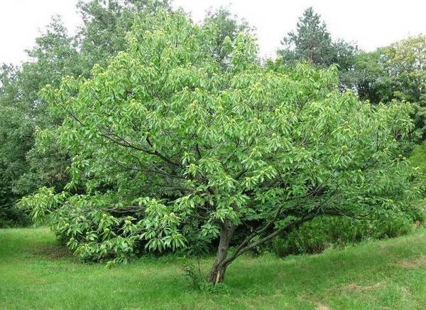 Посадка ясеня: размножение и уход, фото дерева, листьев и его описание