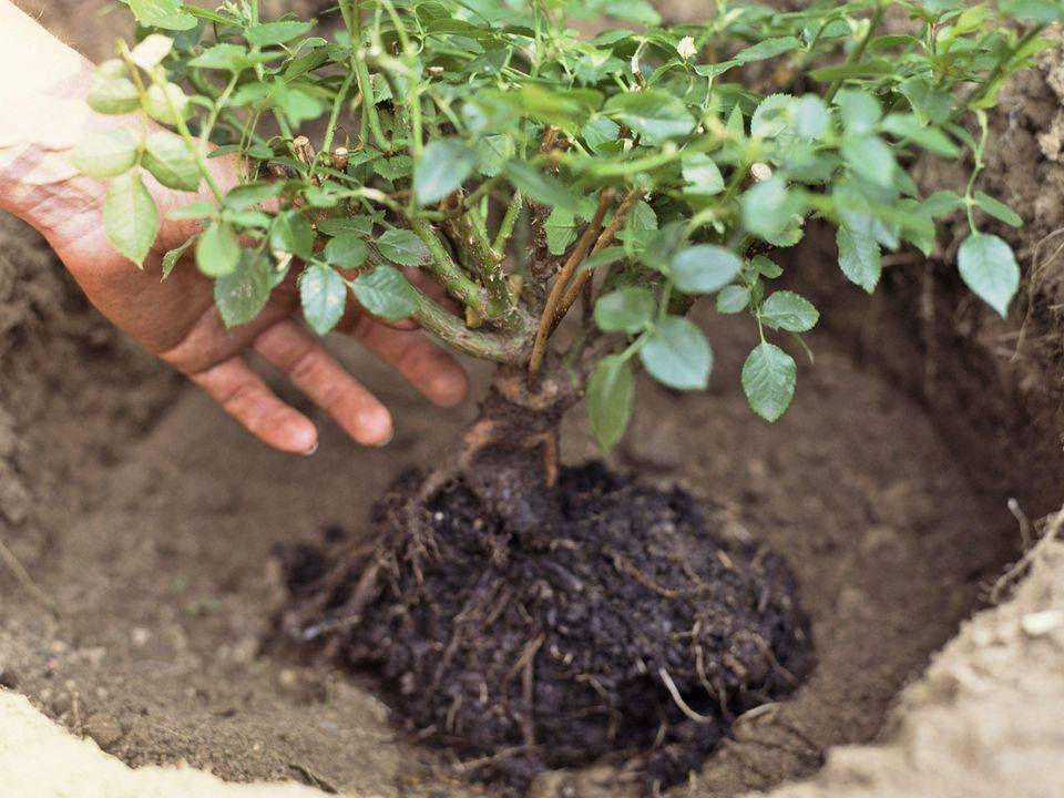 Корневин — стимулятор роста корней, для плодовых, овощных, ягодных и цветочных культур