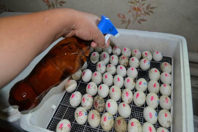 Инкубация яиц индоуток