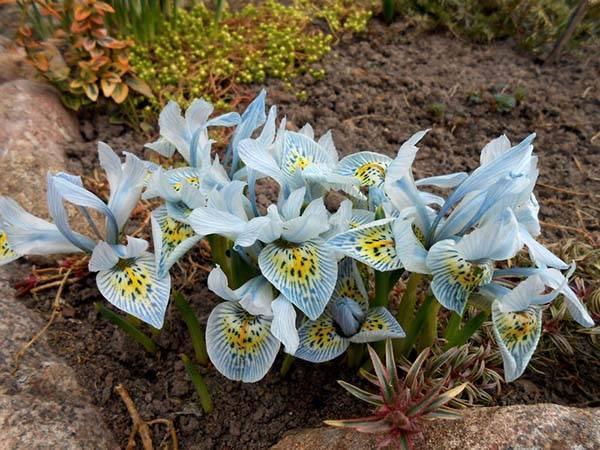 Когда и как сажать луковичные ирисы в открытый грунт весной и осенью: правила ухода и выращивание