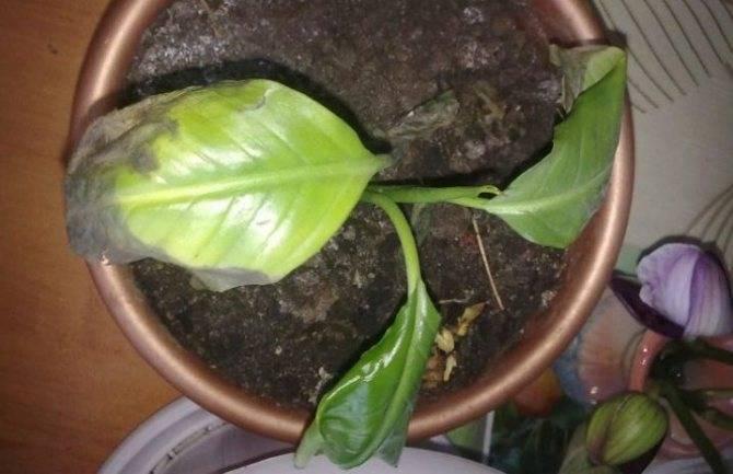 Почему чернеют и сохнут листья спатифиллума и что делать, чтобы спасти растение?