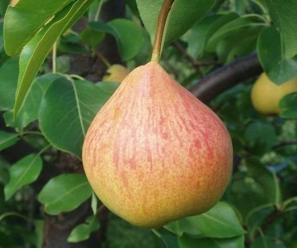 Груша осенняя яковлева: вкусный и урожайный сорт для средней полосы