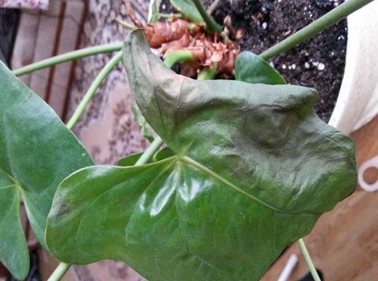 Если у гортензии сохнут листья, нужно искать причину