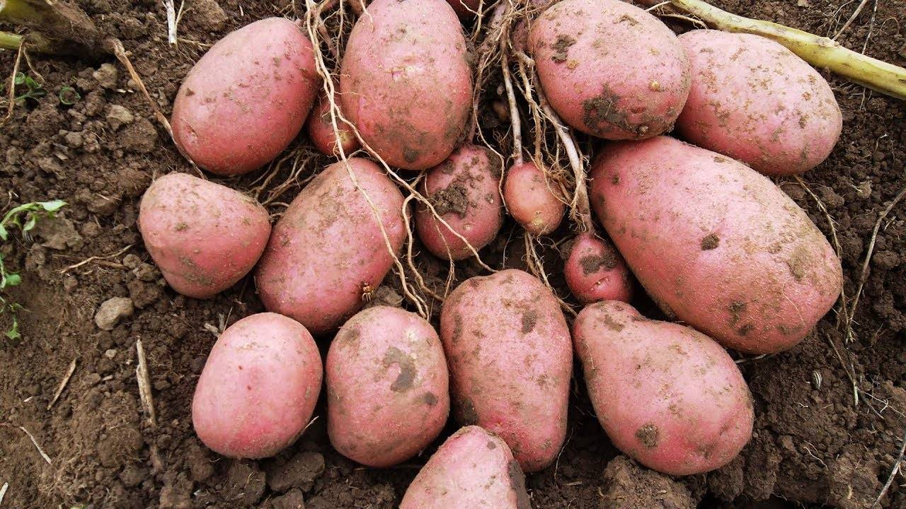Список самых урожайных сортов картофеля