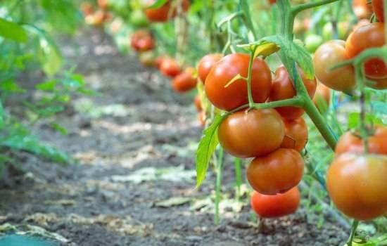 Сорта помидоров для теплиц