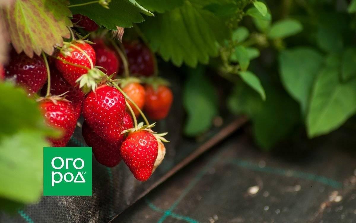 Технология выращивания клубники в теплице круглый год: посадка и уход