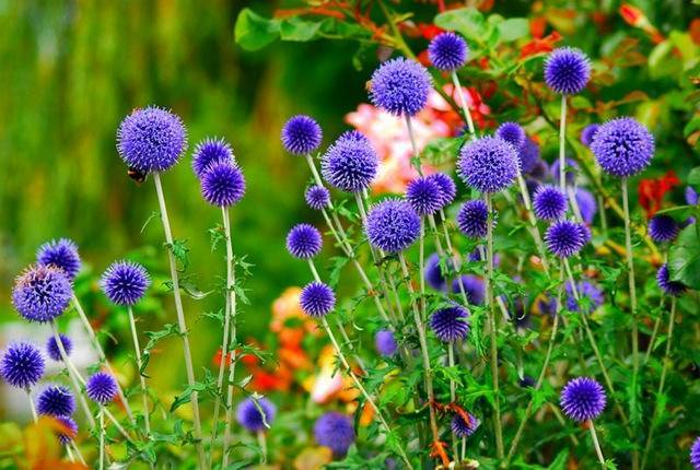 Когда сажать семена левкоев, чтобы цветы радовали уже в начале лета?