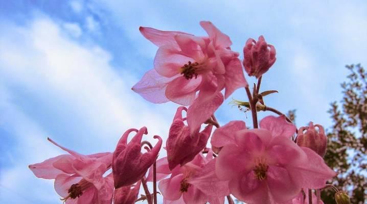 Аквилегия: использование в дизайне сада, подбор растений-партнеров