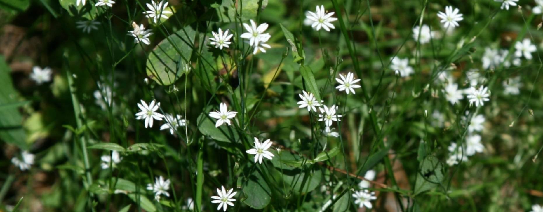 Трава мокрица: описание и целебные свойства