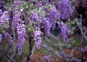 Лаконос (фитолакка): фото и виды, посадка и уход за растением