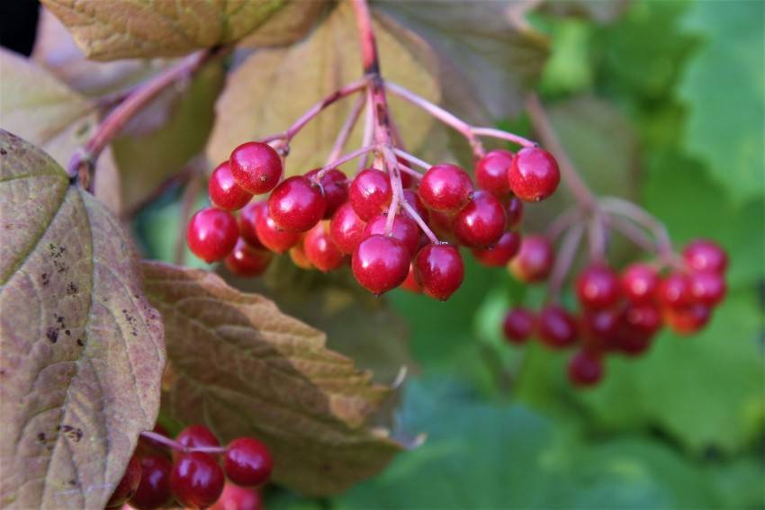 Калина: выращивание и уход, размножение и посадка в открытом грунте с фото