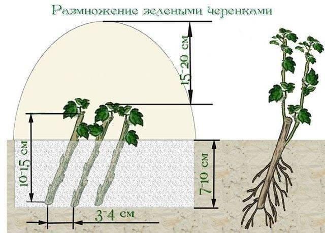 Размножение черноплодной рябины