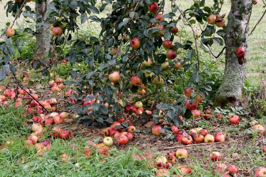 Зачем собирать опавшие яблоки?