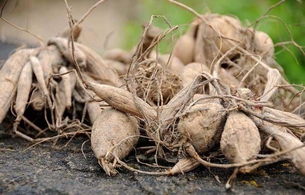 Уход за георгинами и технология их выращивания из клубня